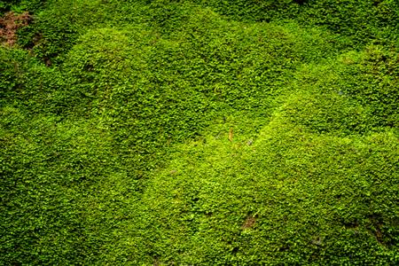 Closeup green moss in nature