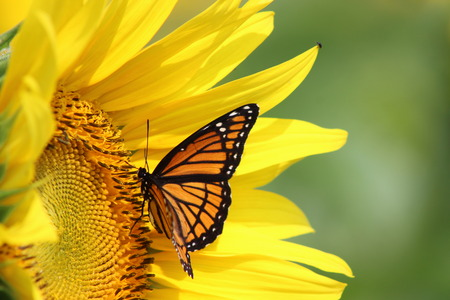 Monarch on a Sunflower