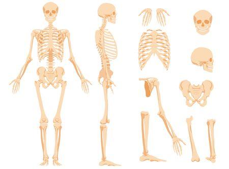 Illustration pour The full anatomical skeleton of a person and individual bones - image libre de droit