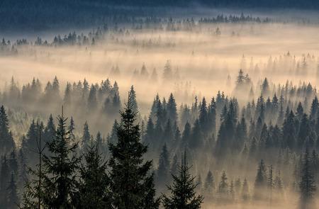 Photo pour coniferous forest in foggy mountains - image libre de droit