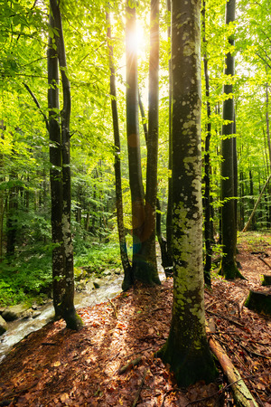 Photo pour sunlight in summer forest. huge trees on the edge of a hump near the wild brook - image libre de droit