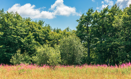 Photo pour fireweed plants on the forest edge. wonderful summer weather at high noon - image libre de droit