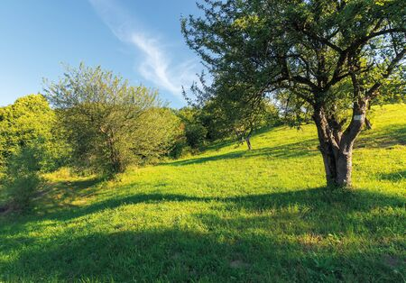 Photo for abandoned orchard on the hillside. rural scenery in evening light - Royalty Free Image