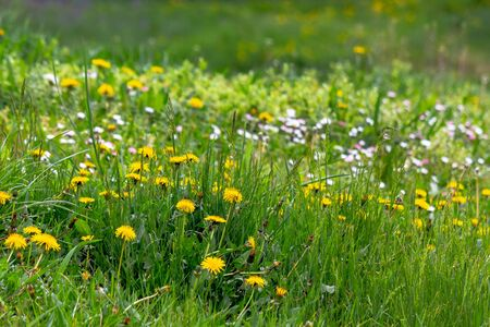 Photo pour dandelions and other weeds among the grass. an overgrown backyard needs clearing. springtime lawn care concept - image libre de droit