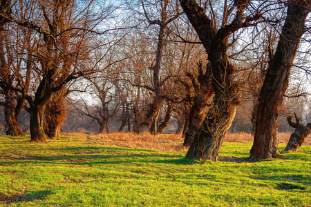 Photo for leafless trees in the park at sunrise. green grass on the ground in morning light. calm nature scenery in springtime - Royalty Free Image