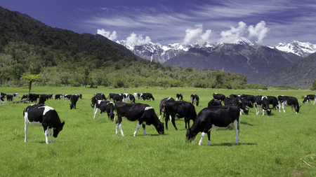 Photo pour dairy cows grazing in a field with New Zealand mountain in the distance - image libre de droit