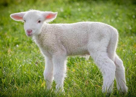 Foto de a white suffolk lamb, a few days old, standing on the grass - Imagen libre de derechos