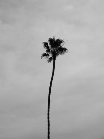 Single palm tree, San Diego.