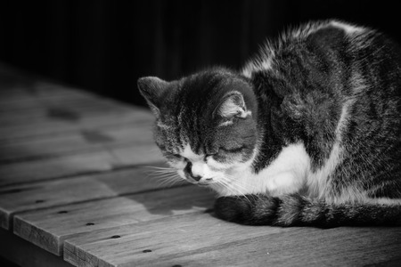 Sleepy chubby pussy cat lied on the wooden ground around outdoor of village black and white