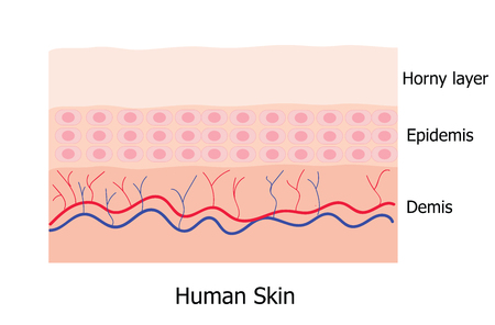 Illustration pour Human skin layer consists of horny layer, Epidemis and Demis  infographic - image libre de droit