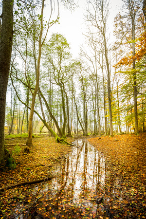 Beautiful and tranquil misty autumn forest scene with water reflection on the ground. Vivid colors with red and orange leafs on the ground.
