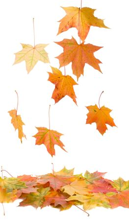 Photo pour close-up fallen maple leaves, isolated on white - image libre de droit