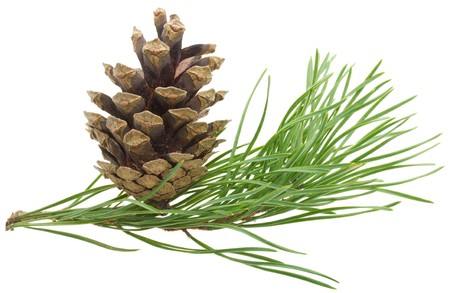 close-up pine branch with cone, isolated on white