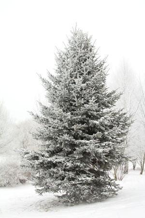 winter fir tree covered with hoarfrost