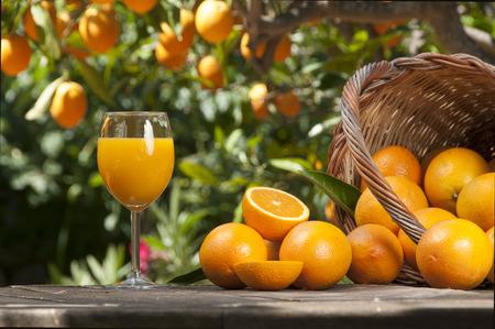Orange juice freshly picked squeezed with oranges under orange tree
