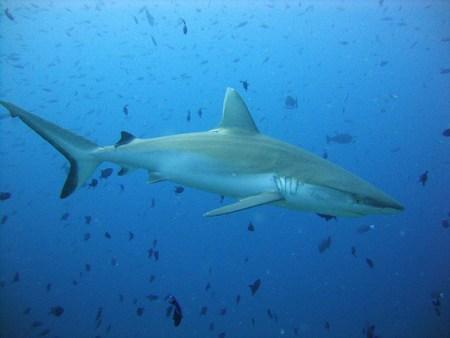 Shark Maldives