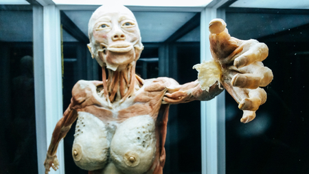 Anatomy model .Part of human body model with organ system