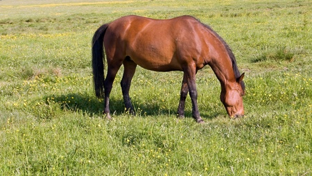 horse grazes on the field