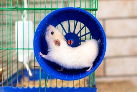 Photo pour hamster running in the running wheel isolated on white backgroun - image libre de droit