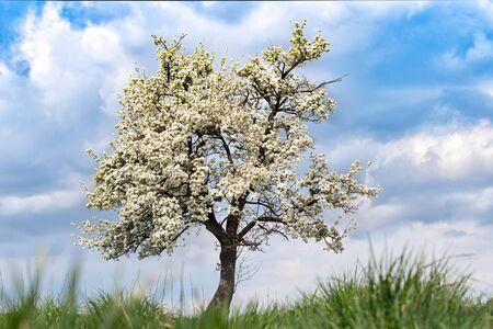 Foto für single blossoming tree in spring. Close up - Lizenzfreies Bild