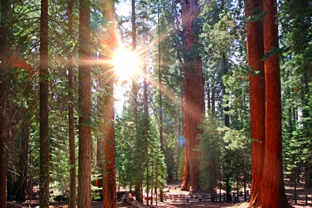 beautiful sequoia forest in sun rayes