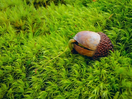 A sprouting acorn on a green moss background