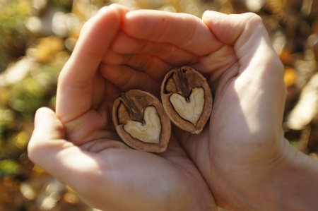 Two hands gently embracing a heart shaped walnut
