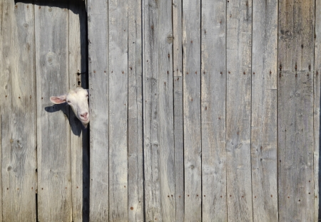 Curious goat peeking through the door of a wooden shed