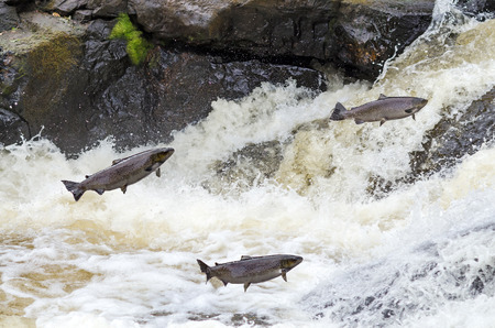 Jumping sea trouts