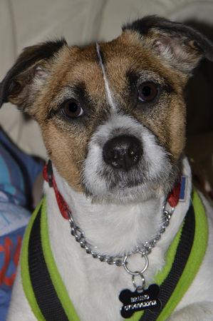 Bruno the Jack Russell Terrier dog
