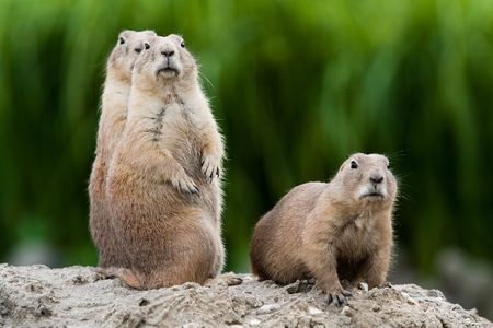 Foto de Group of prarie dogs looking around. These animals native to the grasslands of North America - Imagen libre de derechos