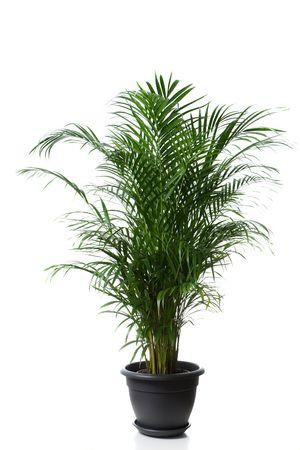 Home plant in flowerpot - Chrysalidocarpus Areca