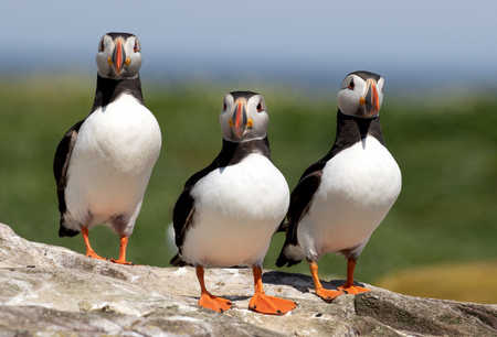 Three atlantic puffins standing in alert on a rock on the Farne Islands