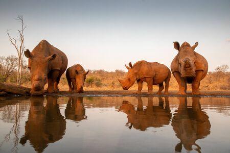 Foto de Four white rhinos at a water hole for a drink - Imagen libre de derechos