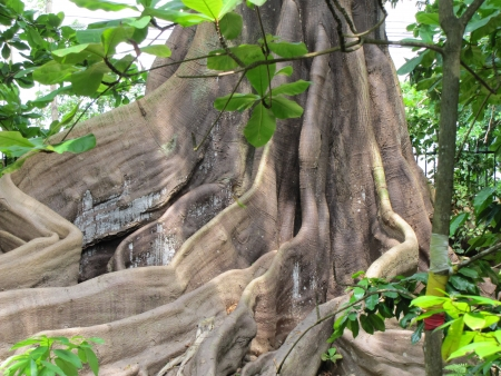 Wondeful view of the massive buttress roots of old giant cotton tree