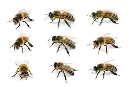 Bee, Apis mellifera, European or Western honey bee, various views isolated on white, wingspan 18mm