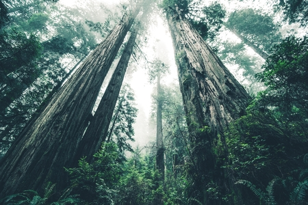 The Giant Forest of Mystery. Deep Redwood Forest Wilderness. California, USA.