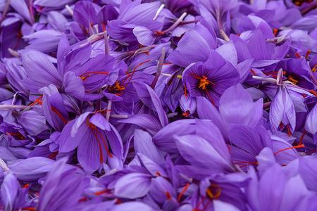 Flowers of saffron collection. Crocus sativus, commonly known as the saffron crocus harvest