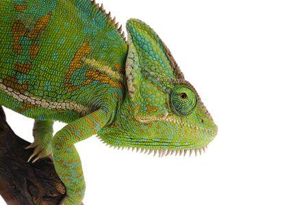 Photo pour Veiled Chameleon isolated on white background - image libre de droit
