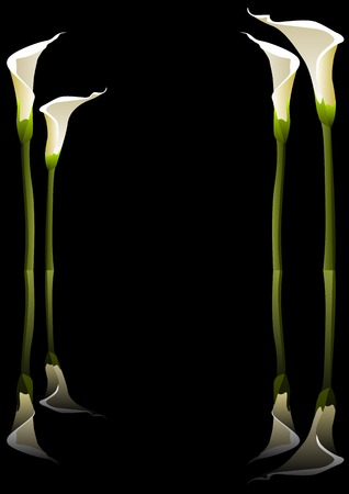 Vector illustration of calla lilies