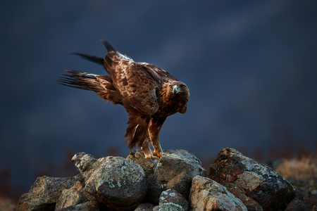 Foto de Golden Eagle (Aquila chrysaetos) sitting on the rock garden. Wild animal. Action wildlife scene from Rhodope - Imagen libre de derechos
