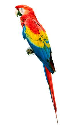 Scarlet macaw (Ara macao) parrot bird isolated on white background. Large, red, yellow and blue parrot