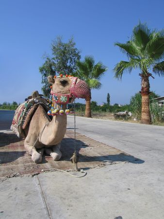 Camel's having a rest, vaiting for passengers