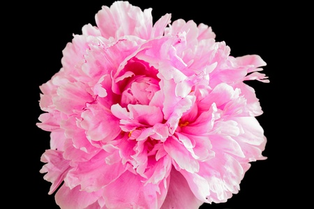 Peony or paeony is a name for plants in the genus Paeonia, the only genus in the flowering plant family Paeoniaceae
