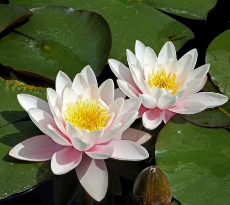 Photo pour Waterlily flowers - image libre de droit