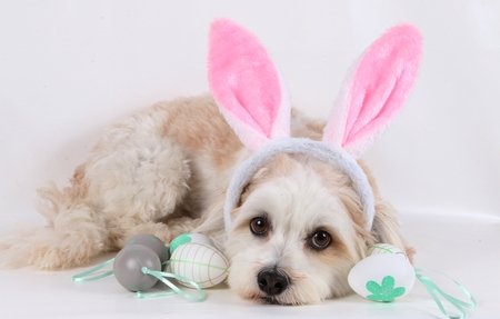Photo for small havanese is lying in the studio with easter eggs and bunny ears - Royalty Free Image