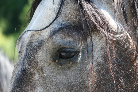 beautiful eye with flys of a dapple gray horse