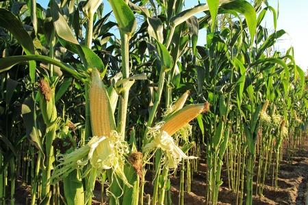 Foto für corn field, corn on the cob - Lizenzfreies Bild