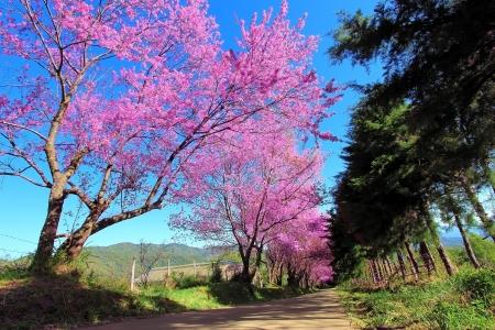 Foto de Cherry Blossom Pathway in ChiangMai, Thailand - Imagen libre de derechos