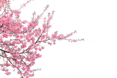 Photo pour cherry blossom isolated white background - image libre de droit